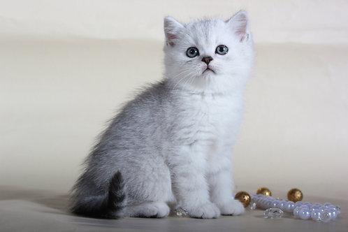 Frost chinchilla color Scottish male kitten
