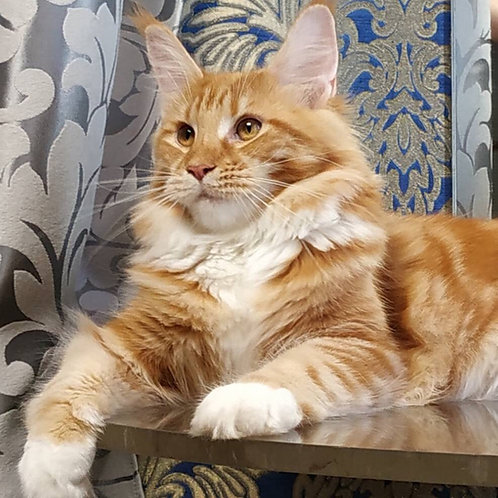 Natali purebred red marble color female Maine Coon