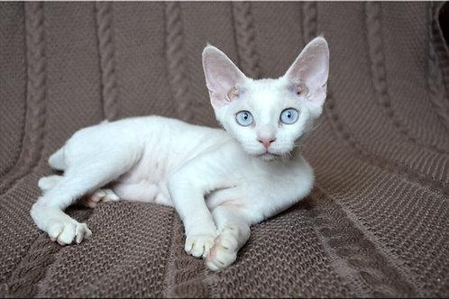 Yukiko white color female kitten Devon Rex with blue eyes
