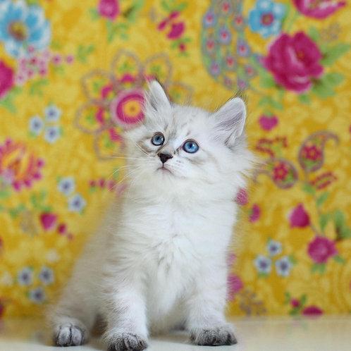 75 Dameron     Siberian male kitten