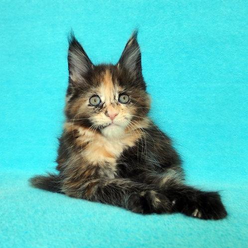 Elana  Maine Coon female kitten