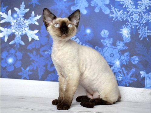 Xavier Devon Rex male kitten in a blue point color