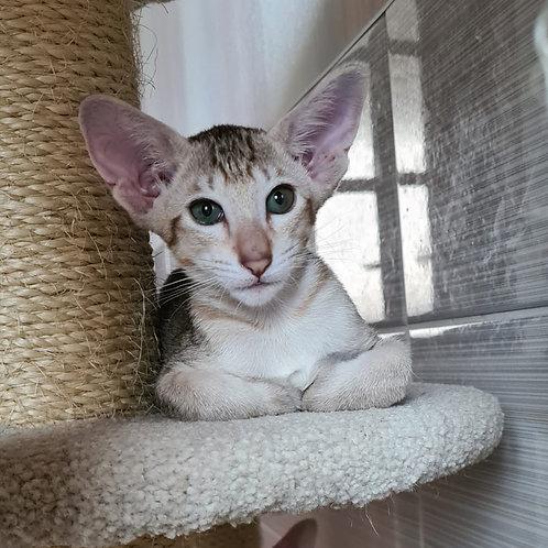 690 Rubi  Oriental female kitten