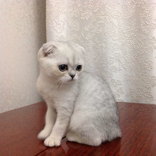 Kim Scottish fold female kitten in a chinchilla color with green eyes