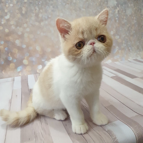 German Exotic shorthair male kitten