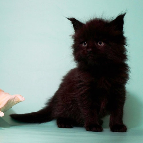 Fobos black color male Maine Coon kitten