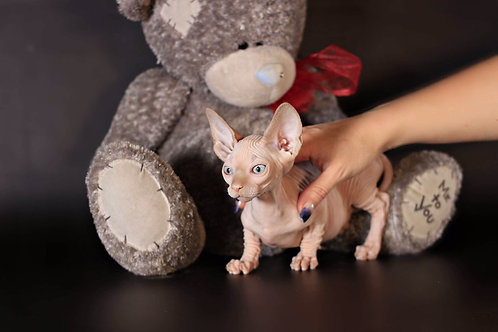 Vekko Pride Bambino male kitten with blue eyes