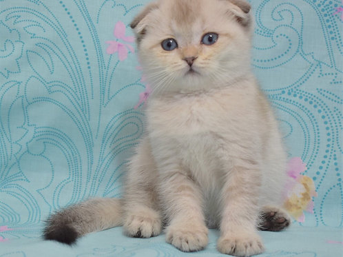 Monty Scottish fold shorthair male kitten
