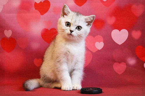 Aurora purebred British shorthair female kitten