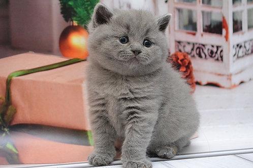 Aramis Scottish straight shorthair male kitten