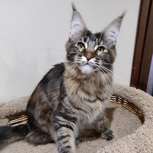 Fifa Maine Coon tortie color female cat