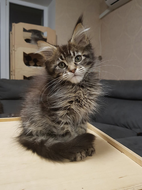 Fiona Maine Coon black tiger color female cat