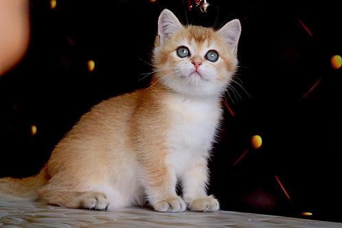 711 Yohann  British shorthair male kitten