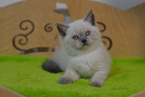 Gucci purebred Scottish straight with blue eyes