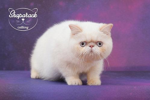 Shape links color point Exotic shorthair male kitten