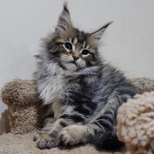 Uliana Maine Coon female kitten