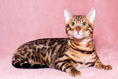 Merlin purebred Bengal male kitten