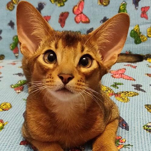 Icarys purebred Abyssinian male kitten