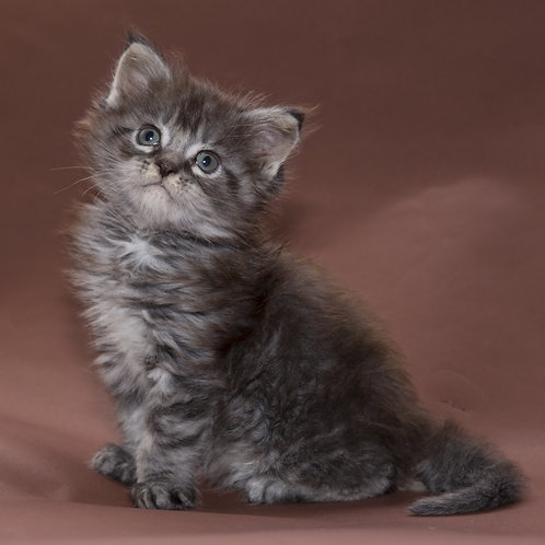 Pluto purebred black silver marble male Maine Coon