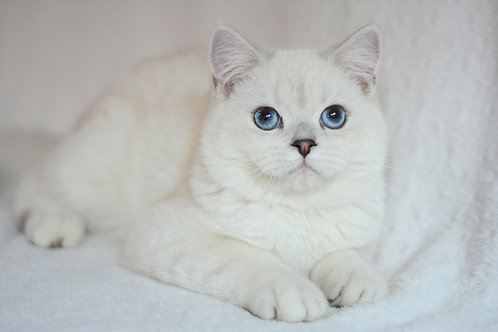 Johnnie British shorthair male kitten