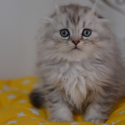 Kipling very cute purebred Scottish fold highland kitten