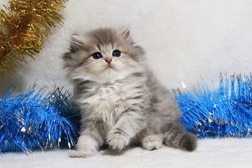 Destiny purebred British longhair male kitten