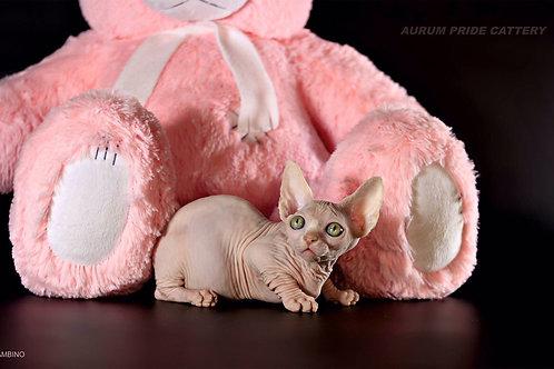 Vita Pride Bambino female kitten with orange eyes