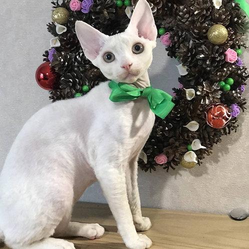 Lancer Devon Rex kitten