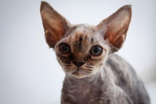 Star Lola tortie color female kitten Devon Rex