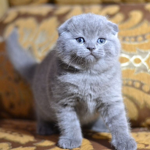 Bobby purebred Scottish fold kitten in a blue color