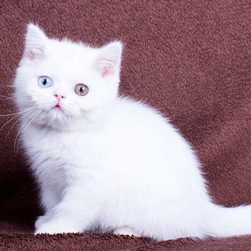 Valentina purebred British shorthair female kitten