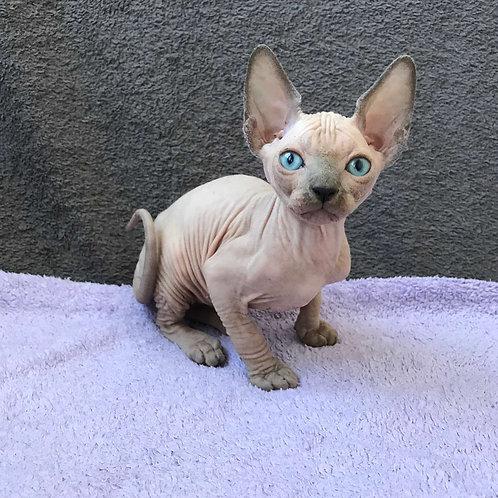 Holly female Sphinx kitten