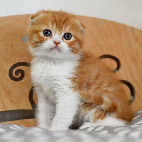 Spicy Scottish shorthair male kittenwith folded ears