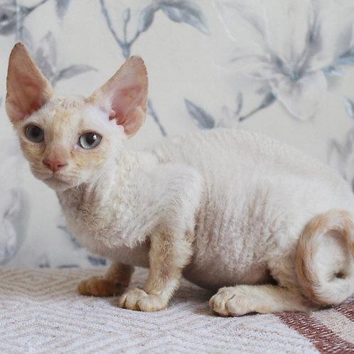 Kim Devon Rex male kitten in a red point color
