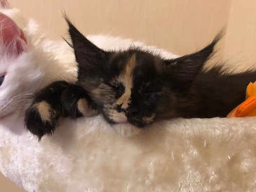 America purebred black tortie color female Maine Coon