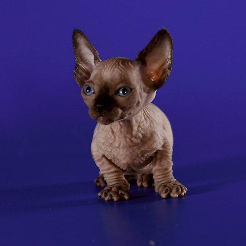 Aurum Pride elegant Bambino female kitten with blue eyes
