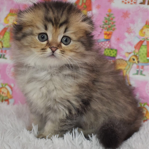 Endi Scottish fold longhair male kitten