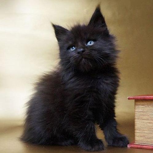 Guzel black solid color female Maine Coon kitten