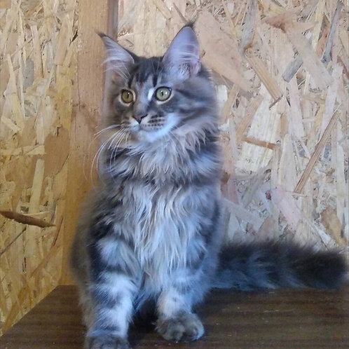 Milo purebred blue marble color male Maine Coon