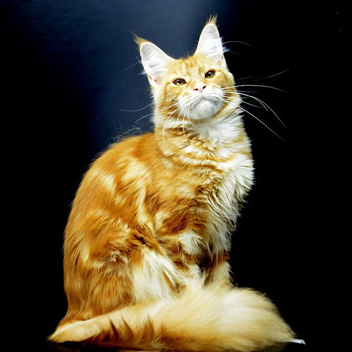 Prima Maine Coon red marble color female cat