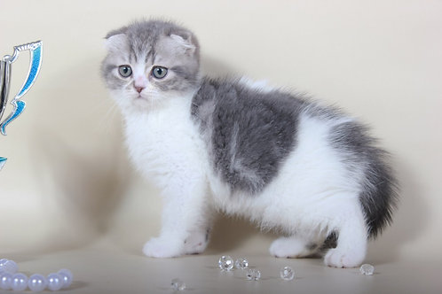 Antuan purebred Scottish fold in a blue marble on white color