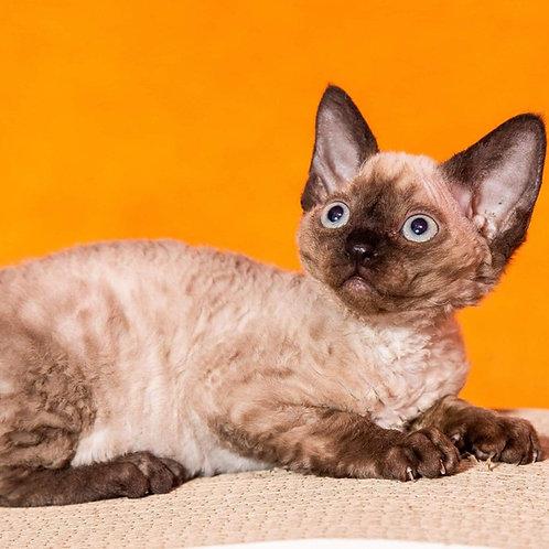 Fozzi male kitten Devon Rex