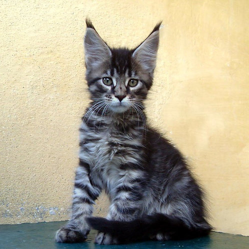 King Edward purebred male Maine Coon kitten