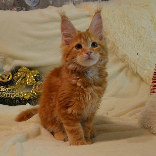 Berta purebred red marble color female Maine Coon