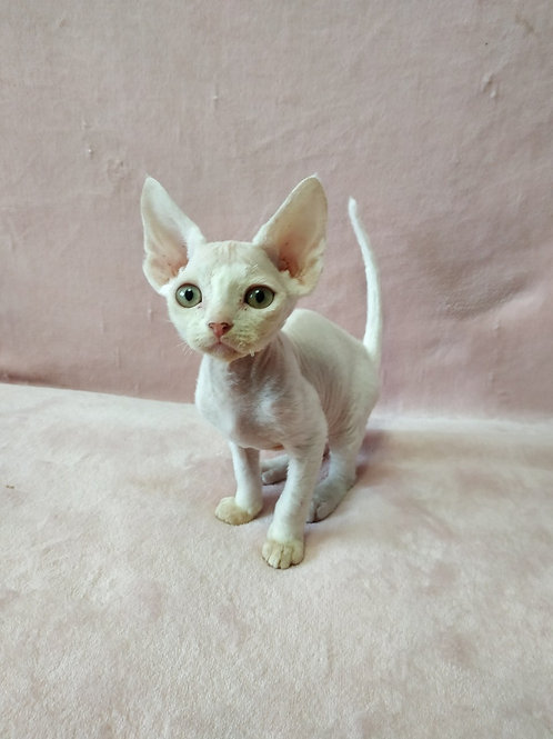 Izumrud white color male kitten Devon Rex with orange eyes