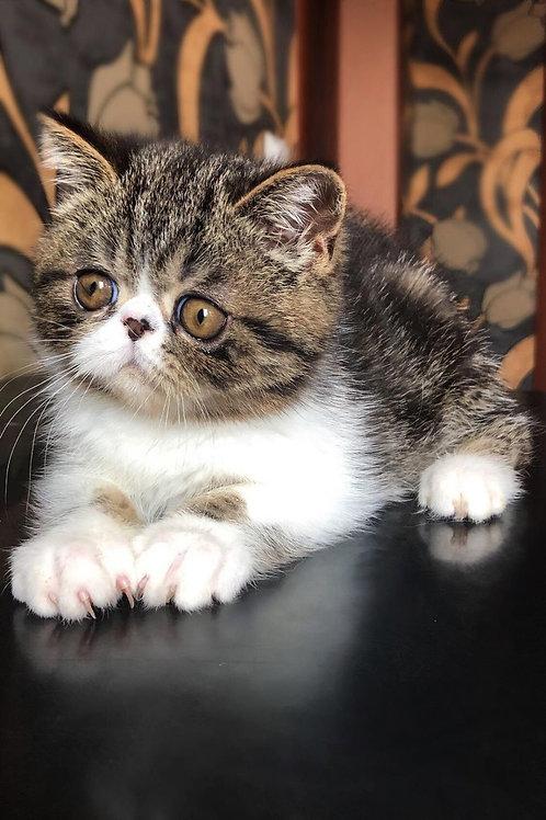 91 Bim Bom  Exotic  male kitten