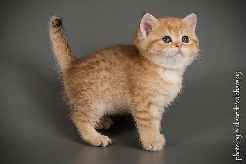 Bella purebred British shorthair female kitten