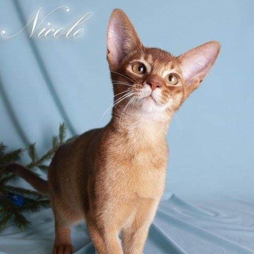 Necole purebred Abyssinian female kitten