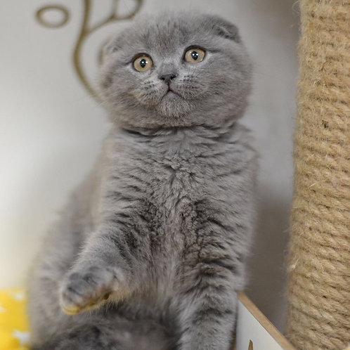 Zhanna Scottish fold shorthair female kitten