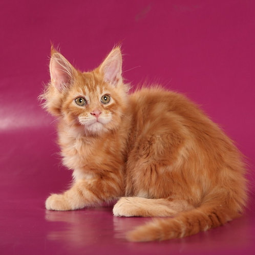 Xtail Maine Coon in a red marble color